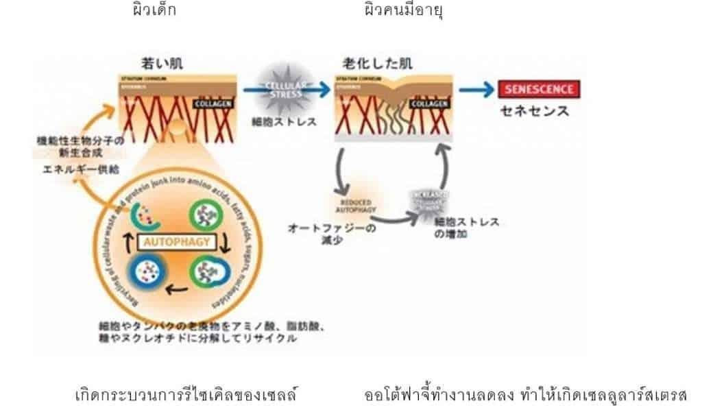 autophagy 4